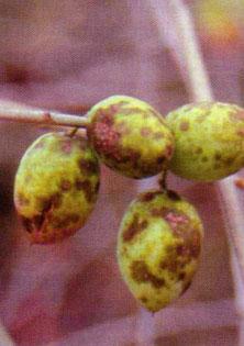 olive-fungicide