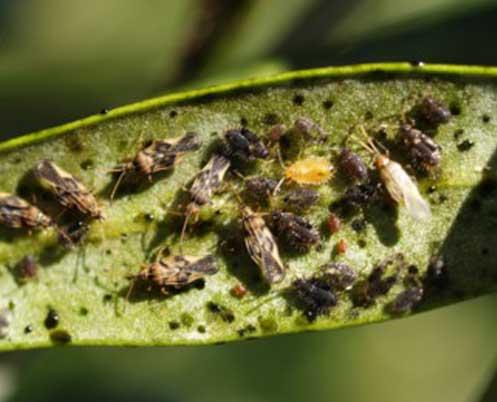 Management of olive lace bug