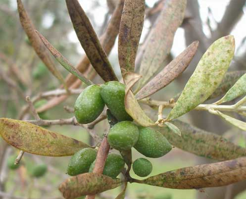 Effective environmentally-sensitive pest management in olive production