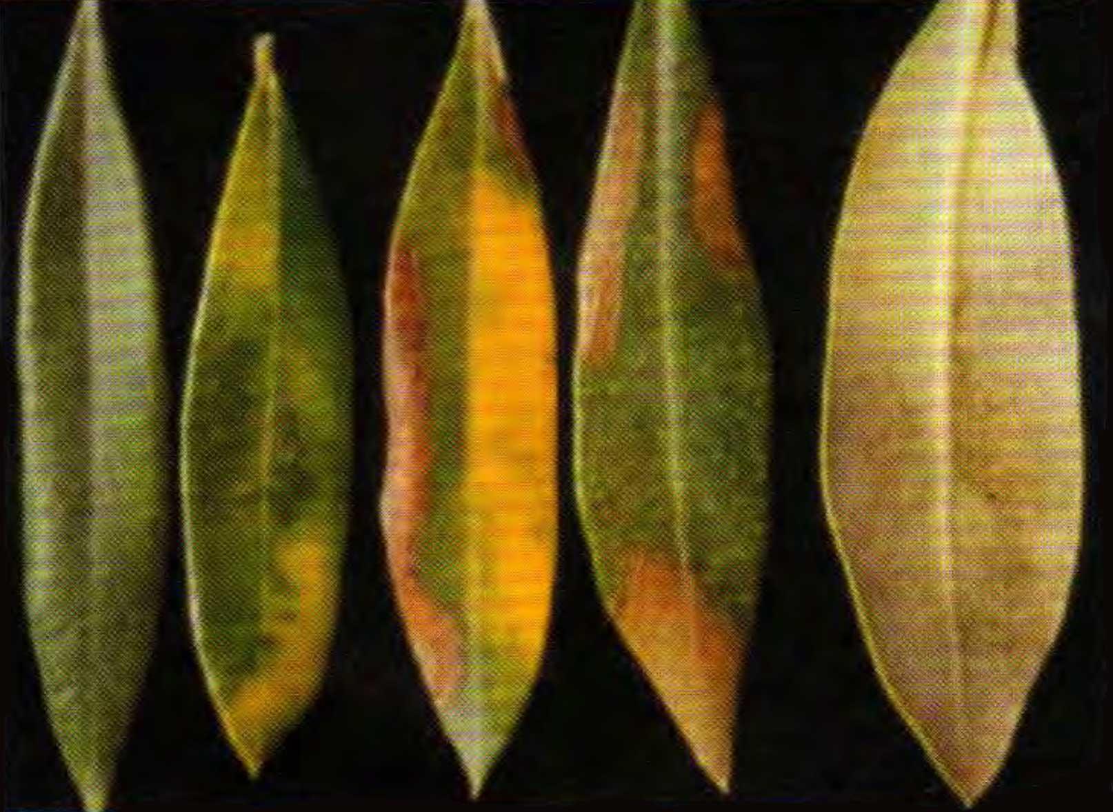 El emplomado del olivo, una grave enfermedad poco conocida