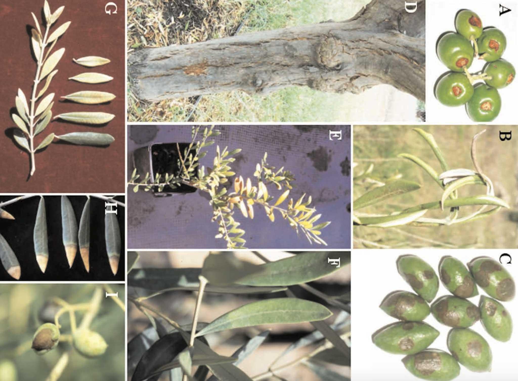 Abiotic Diseases of Olive