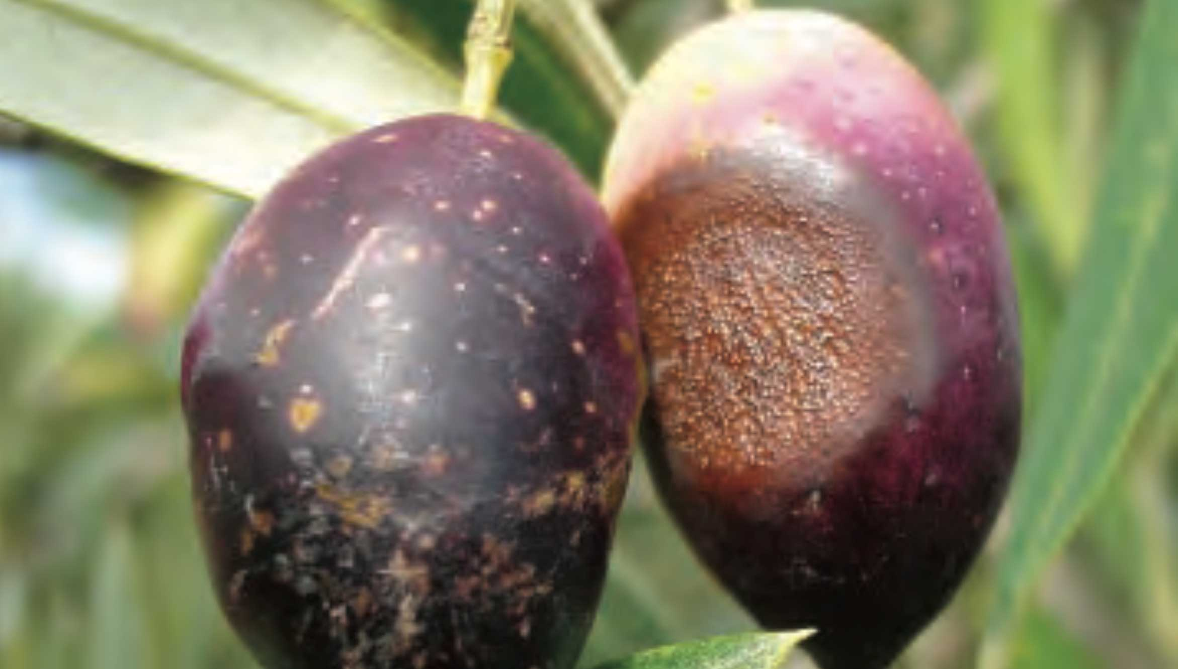 Anthracnose and Cercosporiose on olives in Australia: an update