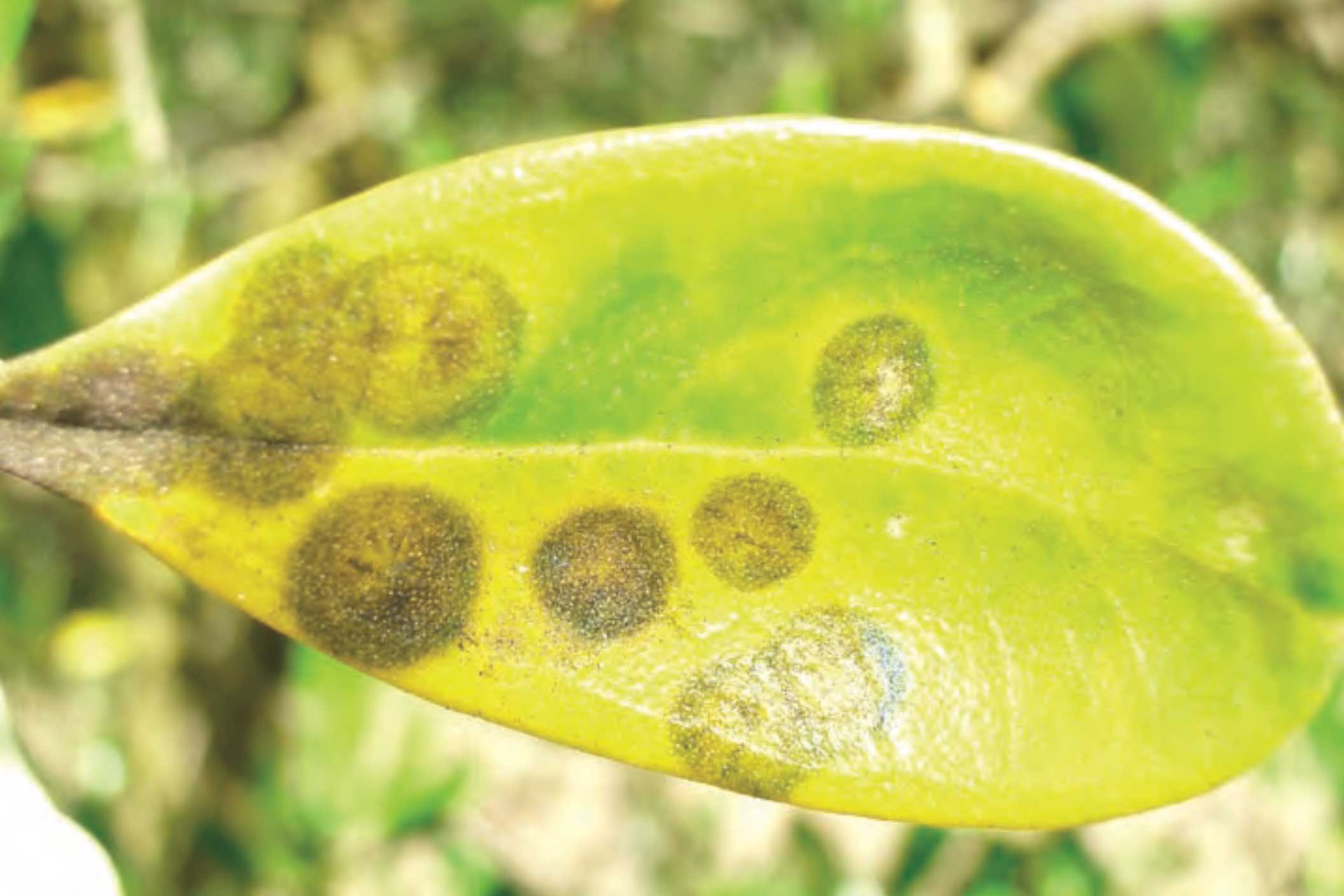 Using copper sprays to control olive diseases