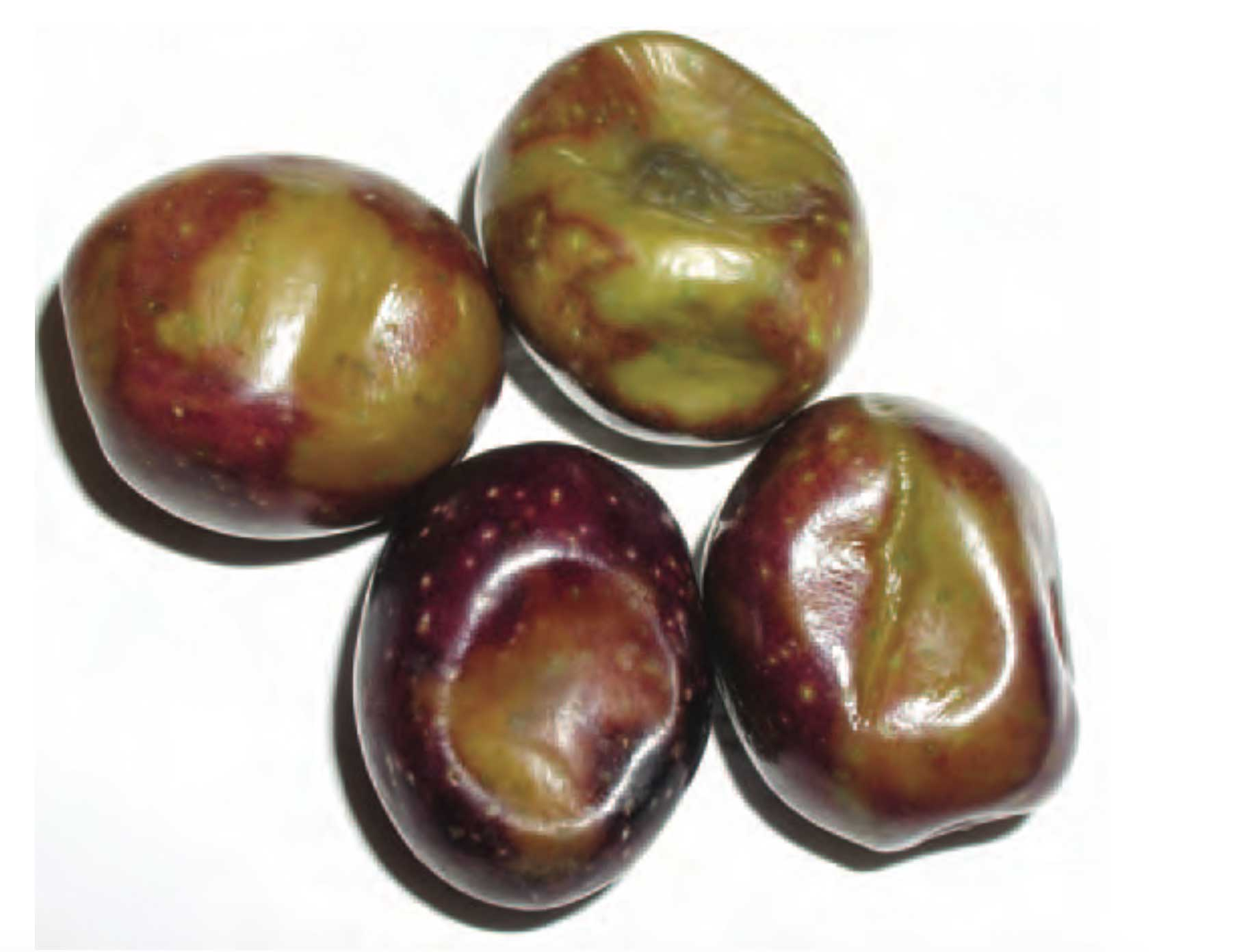 Frost and chilling injuries in olives