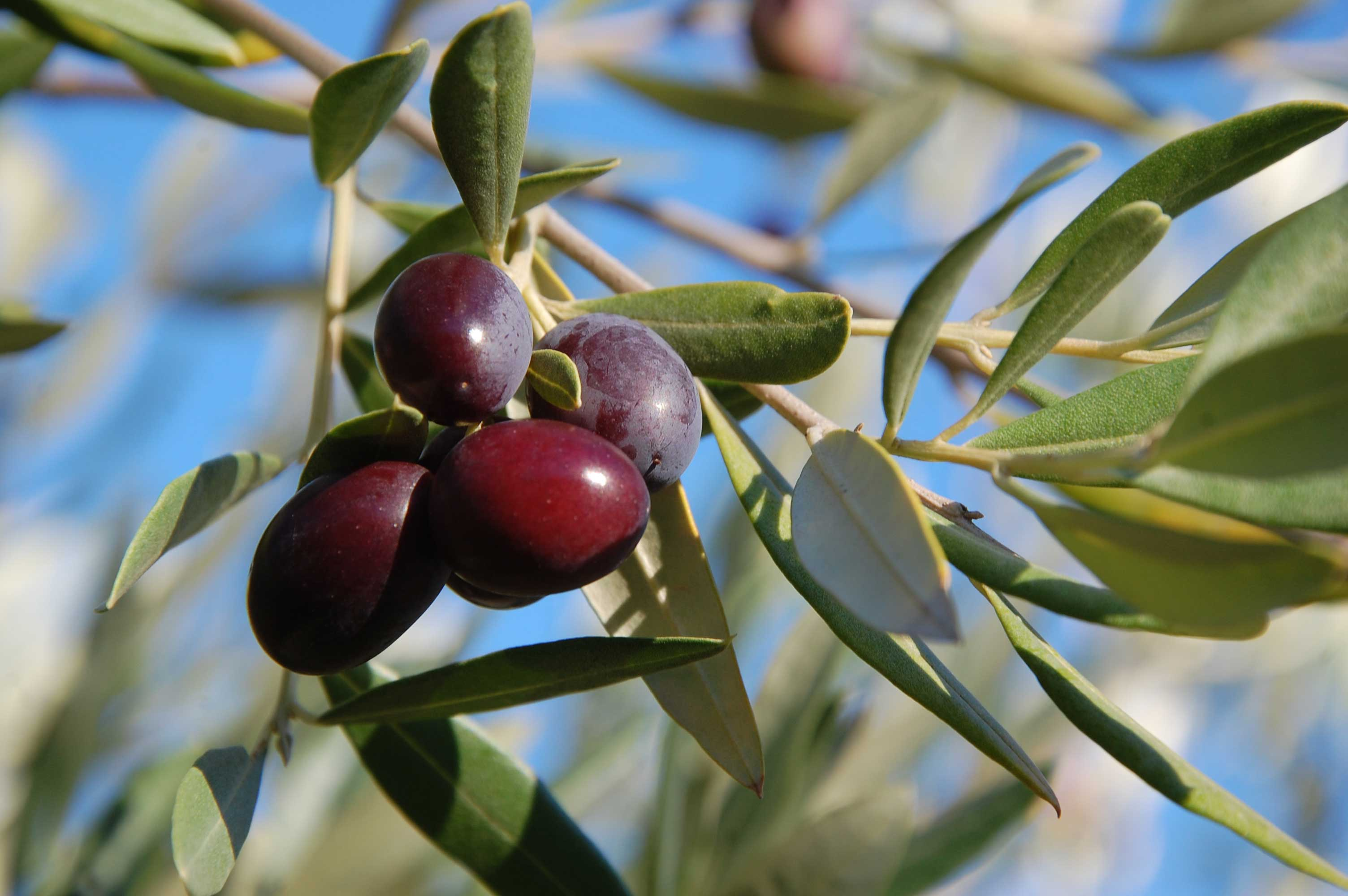 Effect of climate on olives
