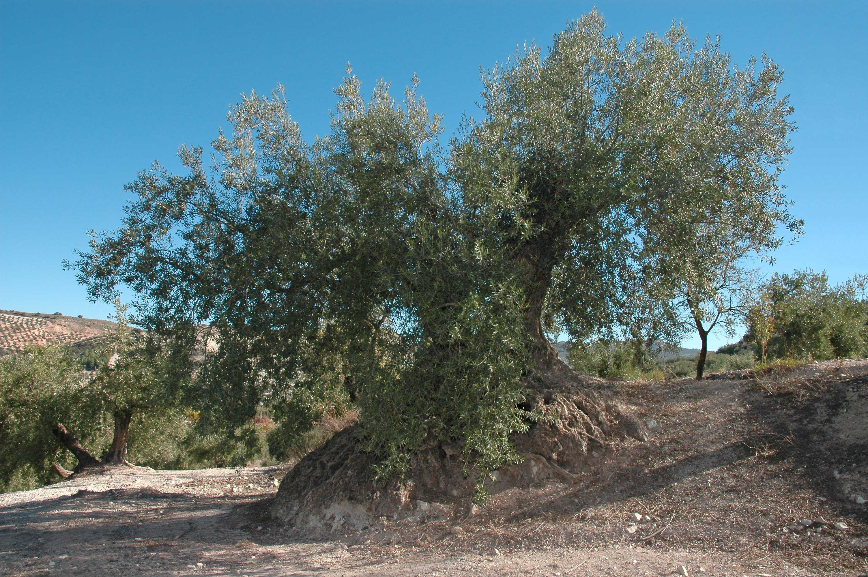 Elucidation of the Disease Cycle of Olive Anthracnose