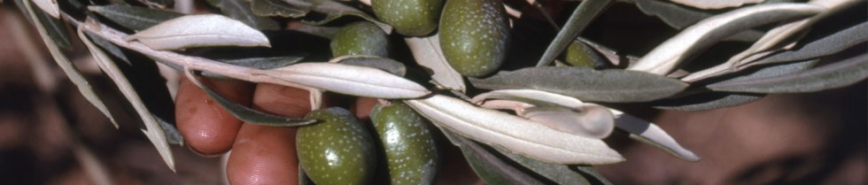 Australian & New Zealand Olivegrower & Processor