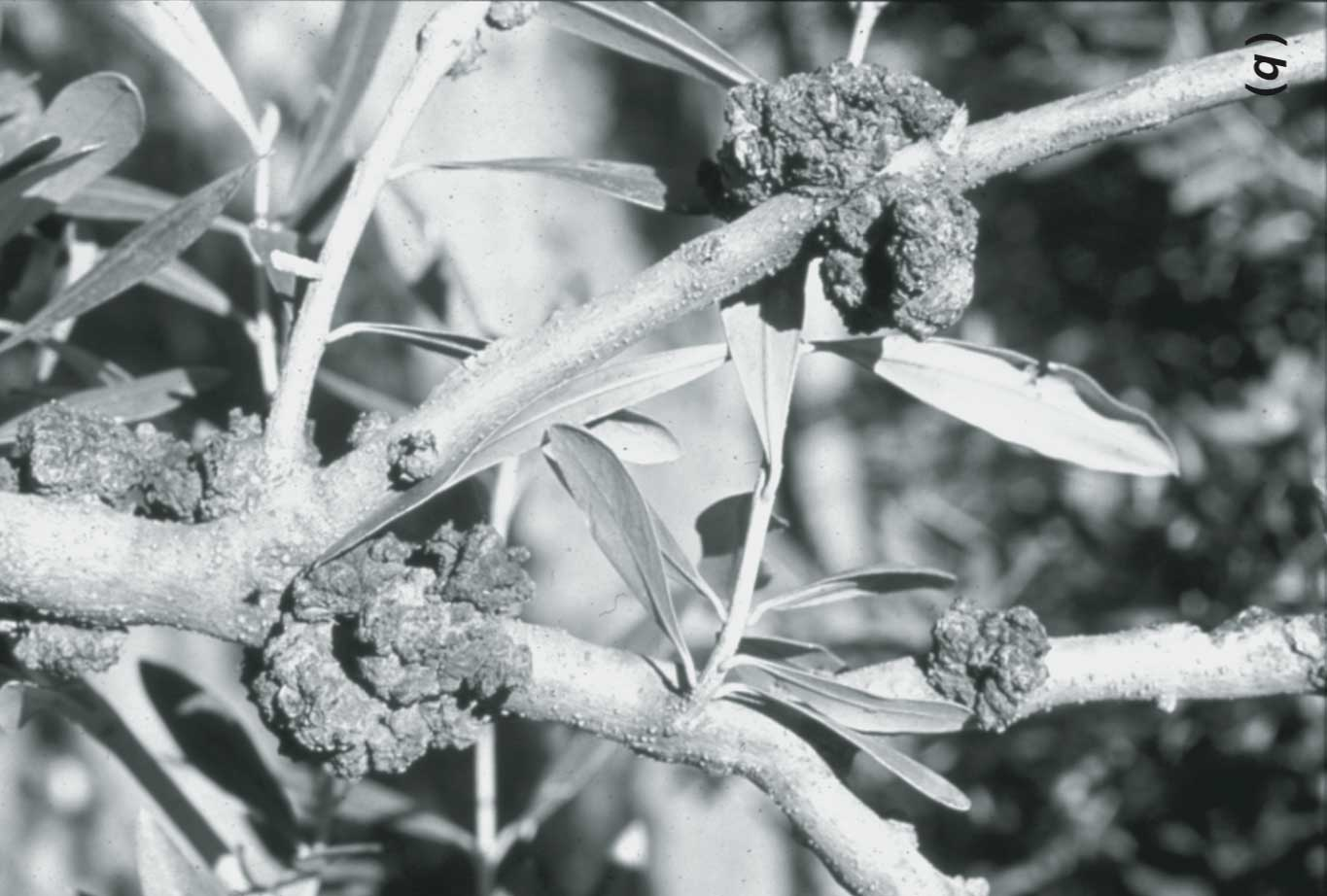 Olive Knot and its Pathogens