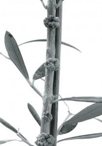 oliveknot-pathogens2