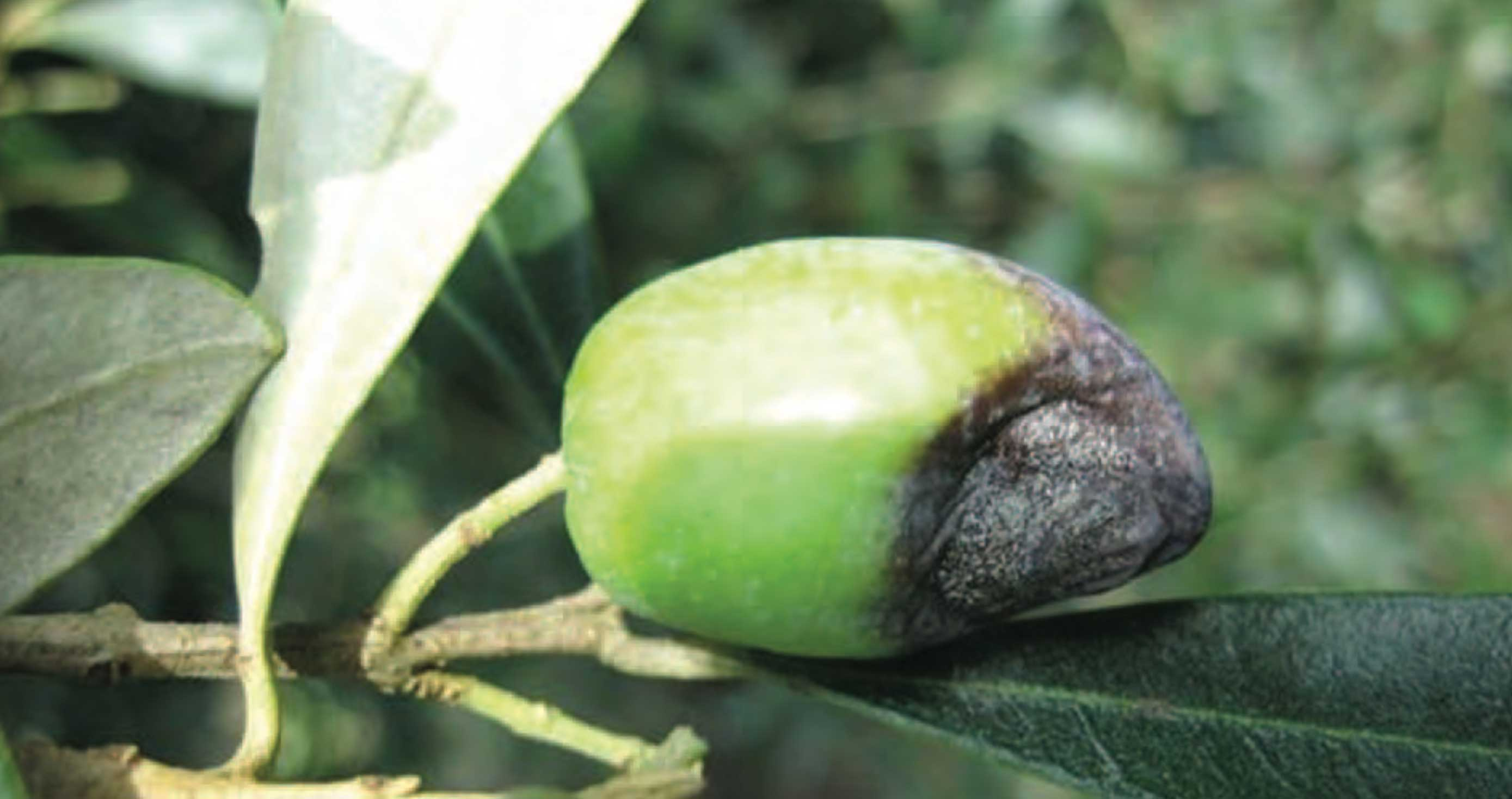 Integrated pest management of diseases in olives