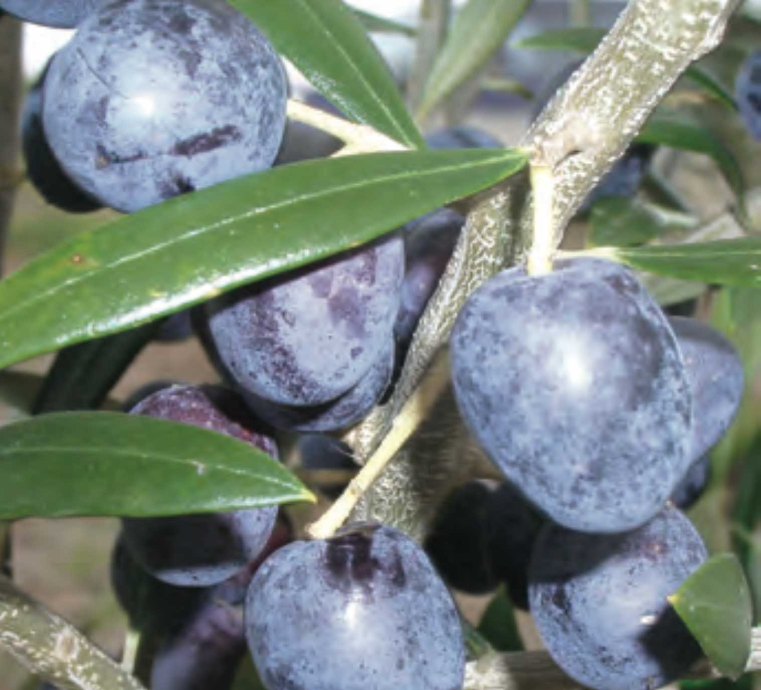 Disease resistance and adaptability of olive cultivars