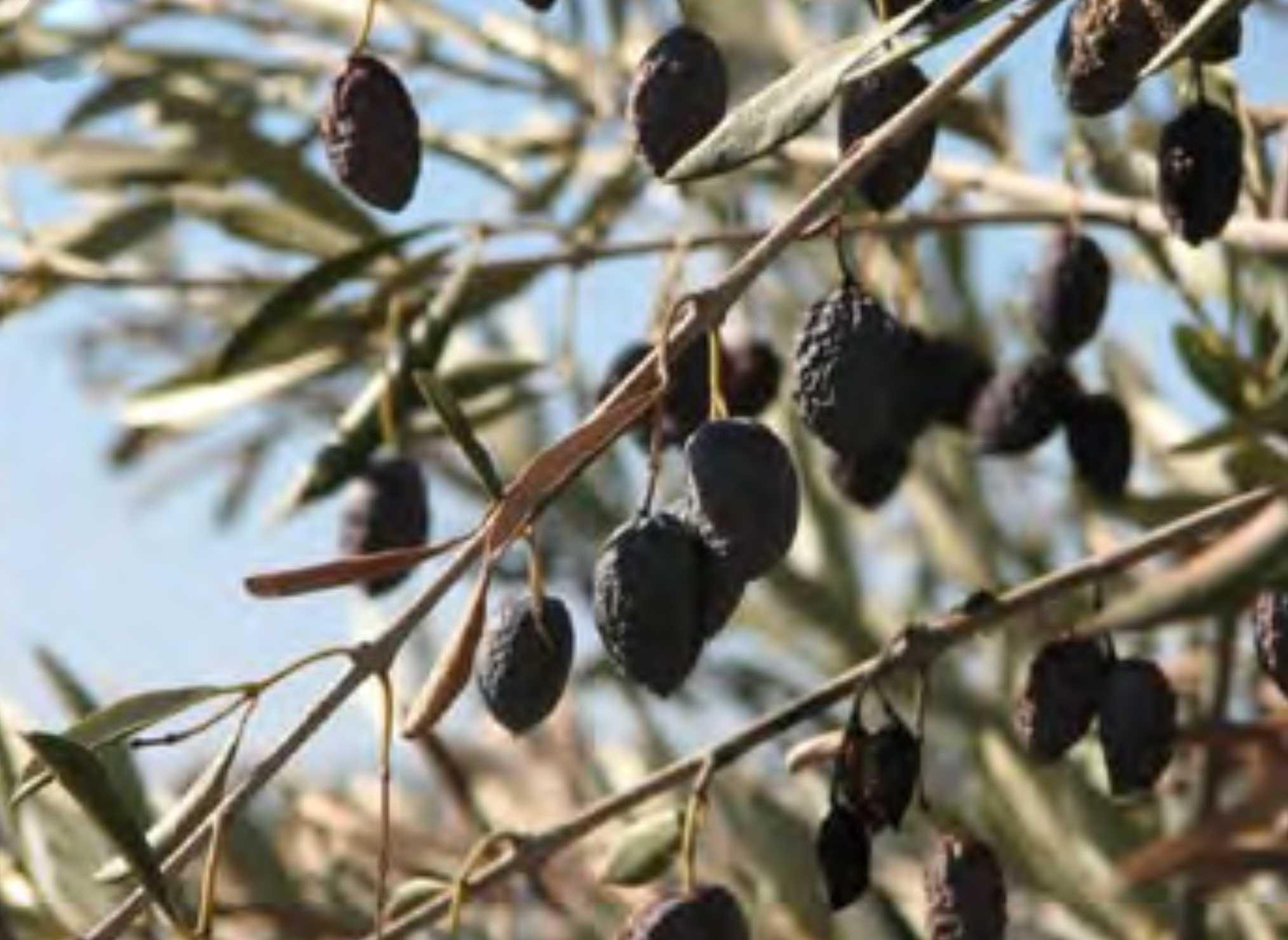 Verticillium wilt of olive