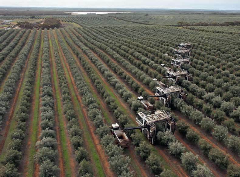The olive: uses and benefits of its oil, fruit and leaves